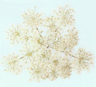 Мыло своими руками. Рецепт геля для душа с цветками бузины.