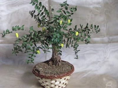 Лимонное деревце Ольги Кочарян.